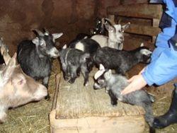 African Pygmy goats