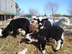 colourful lambs