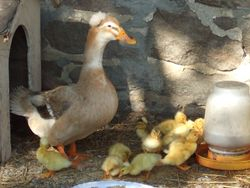 Crested Duck and ducklings
