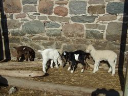 goats and lambs