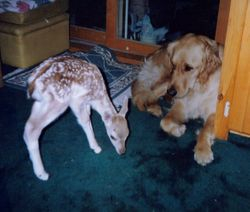 Holly and Fallow Deer fawn