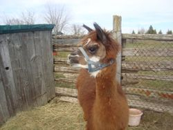 Ginger the Alpaca