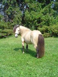 Bucky miniature horse stallion