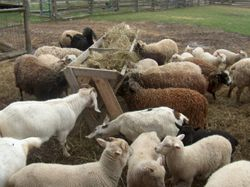 lots of sheep and goats