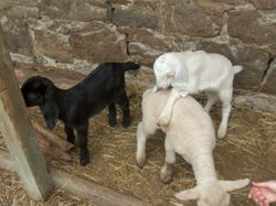 baby goats and lamb