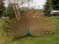 Blue the peacock