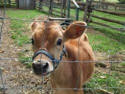 Hershey the calf