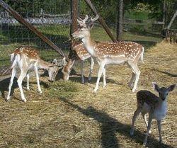 Herd of Fallow Deer