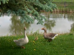 Goosey and Gander and their baby