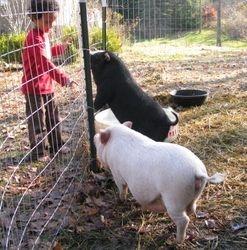 Pig tricks