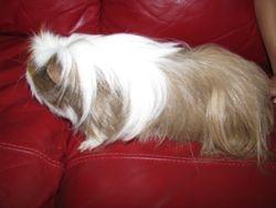 Spot the long haird Guinea Pig
