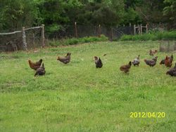 Hens on their new pasture