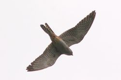 Red-footed Falcon.