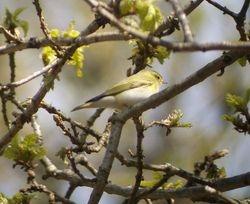 Wood Warbler.