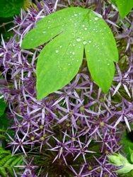 Alium with leaf
