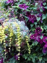 Clematis & succulents