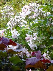 Roses and Red Cobnut