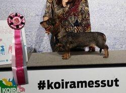 BOB -puppy Helsinki Winner 2015 Tiny Trotter's Winner Takes It All