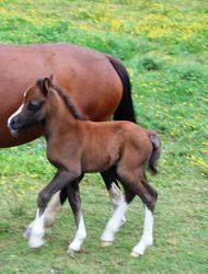 Filly Foal Torcoed Karenza x Pendock Buttonhole