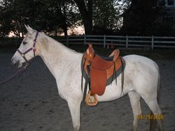 Western saddle with horn on Arab mare