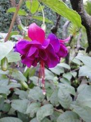 Fuschia in Bloom