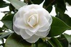 Beautiful gardenia
