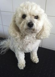 Elly May - Bichon Frise