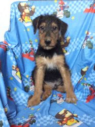 Pace:  AKC Giant Airedale Terrier, $995 after neuter binder rebate, $1495 full AKC with breeding rights, born 2-18-17 to Princess and Casey