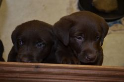 Twin Chocolate Females at 6 weeks