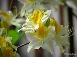 White & Yellow Azalea