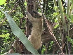 SILKY ANTEATER (SLOTH) 1