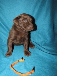 4 Weeks Old - Orange Collar Female