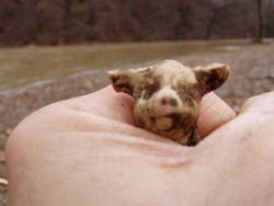 Little pig dug in creek dump.