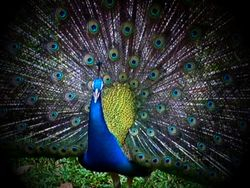 Peacock Special / Pauw Speciaal