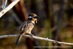 Russet-throated puffbird - Hypnellus ruficollis
