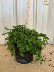fig ivy