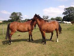 Two Warmblood retired horses