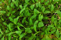 Curly CRESS microgreens, 8 days since sown
