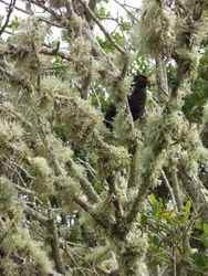 Amazing Blackbird in a lichen-draped tree. See how clean and pollution-free the Scillies are???!