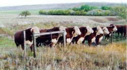 Yearling bulls line up to watch the heifers go by