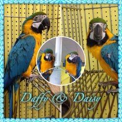 Daffy and Daisy