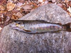 Native NY Brook trout 2013 April