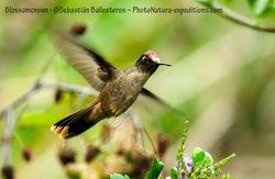 Santa Marta Blossomcrown - Anthocephala floriceps