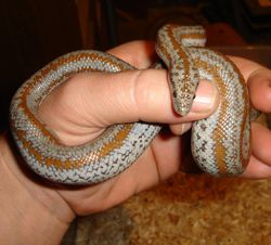 Whitewater Rosy Boa
