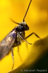 Micropteryx