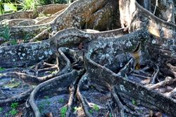 Brown Wooly Fig Roots 3
