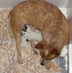 SAGA Astra Canina