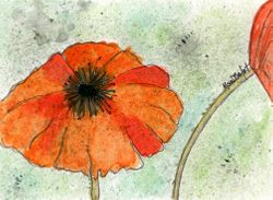 Winter Poppy