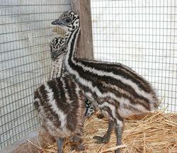 Emus!