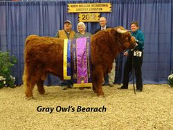 Another show of the Grand Champion Bull